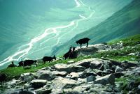 Ziegenherde auf der Greina-Hochebene (copyright SGS)